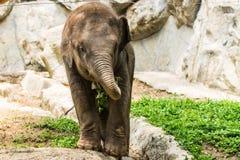 Dziecko słoń w Chiangmai zoo, Tajlandia Zdjęcia Royalty Free