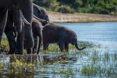 Dziecko słoń wokoło pić od rzeki zdjęcia stock