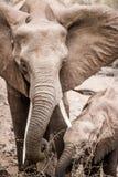 Dziecko słoń z macierzystym słoniem w Kruger parku narodowym, Południowa Afryka Zdjęcia Stock