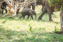 Dziecko słonia odprowadzenie w Kruger parku narodowym, Południowa Afryka Fotografia Royalty Free