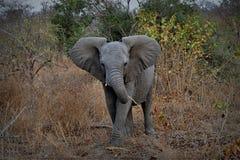 Dziecko słonia portret z dużymi ucho w Kruger parku narodowym, Południowa Afryka Zdjęcia Stock
