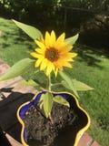 Dziecko słonecznik zdjęcie stock