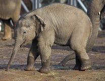 dziecko słonia Obraz Stock