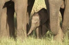 dziecko słonia Obraz Royalty Free