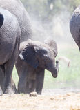 Dziecko słonia miotania piasek Obrazy Stock