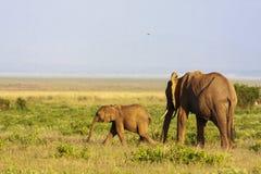 dziecko słonia Sawanna Amboseli, Kenja Fotografia Royalty Free