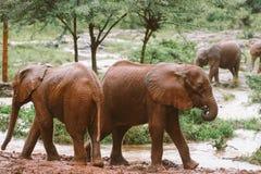 Dziecko słonie w Kenja Obrazy Stock