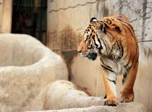dziecko Seoul kawałków tygrysa w zoo Zdjęcie Stock