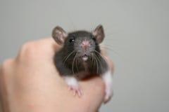 dziecko szczur Obrazy Royalty Free