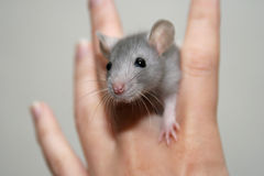 dziecko szczur Obraz Stock