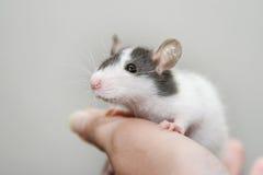 dziecko szczur Zdjęcia Royalty Free