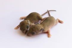 Dziecko szczury Obraz Royalty Free