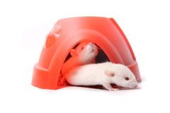 Dziecko szczury w plastikowej kopule Obraz Stock