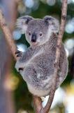 Dziecko sześcianu koala - Joey Zdjęcie Royalty Free