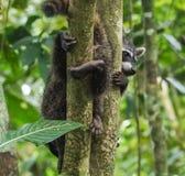 Dziecko szopy w drzewo widokach wokoło Costa Rica Fotografia Royalty Free