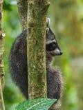 Dziecko szopy w drzewo widokach wokoło Costa Rica Zdjęcie Royalty Free