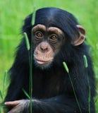 dziecko szympans Obraz Royalty Free