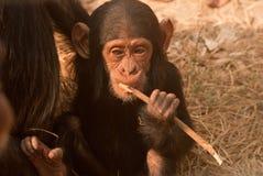 Dziecko szympans Zdjęcia Royalty Free