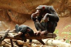 Dziecko szympans bawić się obok matki Fotografia Royalty Free