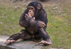 Dziecko szympans przy zoo w Kolkata Szympansy rozważają najwięcej inteligentnych prymasów Obrazy Royalty Free