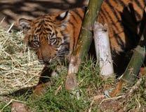 Dziecko Tygrys Obrazy Stock
