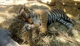 Dziecko tygrys relaksujący Obraz Stock