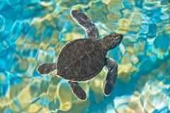 Dziecko żółw Zdjęcia Stock