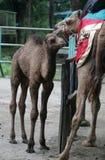 Dziecko wielbłąd Obrazy Royalty Free