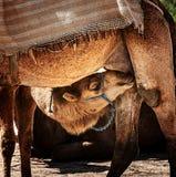 Dziecko wielbłąd Obraz Stock