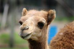 Dziecko wielbłąd Fotografia Royalty Free
