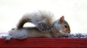 dziecko wiewiórka zdjęcia stock