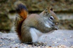 Dziecko wiewiórka Zdjęcie Royalty Free