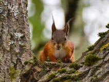 Dziecko wiewiórka obraz stock