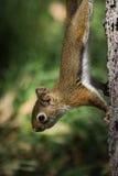 Dziecko wiewiórka na drzewie zdjęcia royalty free
