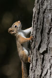 Dziecko wiewiórka na drzewie Obrazy Royalty Free