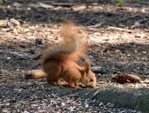 Dziecko wiewiórka obwąchuje ziemię zdjęcie stock