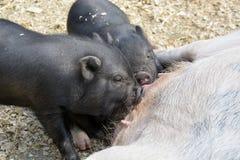 Dziecko świnie ssa mllk od ich matki fotografia royalty free