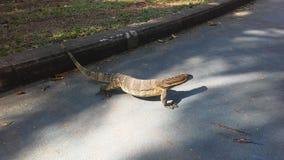 Dziecko Wodnego monitoru Azjatycka jaszczurka, Varanus Salvator w Lumphini parku w Bangkok, Tajlandia Zdjęcie Royalty Free