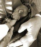 Dziecko Wombat Karmi Obrazy Stock
