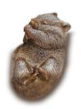 Dziecko Wombat spleeping Obraz Royalty Free
