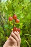 Dziecko wręcza zrywanie jagody agrest Fotografia Royalty Free