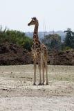 dziecko żyrafa Obrazy Royalty Free
