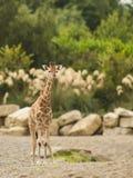 Dziecko żyrafa Zdjęcie Stock