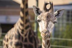Dziecko żyrafa Zdjęcia Stock