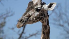 Dziecko żyrafa Fotografia Stock