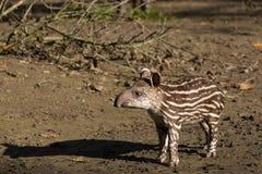 Dziecko zagrażający południe - amerykański tapir zdjęcie stock