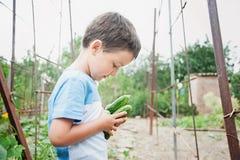dziecko zbiera ogórki od ogródu fotografia stock