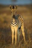 dziecko zebra Fotografia Stock