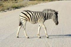 Dziecko zebra - Etosha, Namibia Fotografia Royalty Free