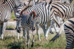Dziecko zebra między grupą Obraz Stock